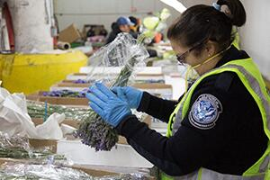 CBP Agriculture Specialist inspecting flower imports