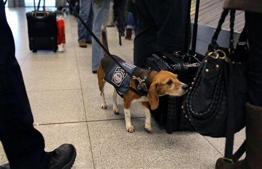 An agricultural detector beagle whose nose is highly sensitive to food odors, sniffs incoming baggage and passengers at John F. Kennedy Airport.