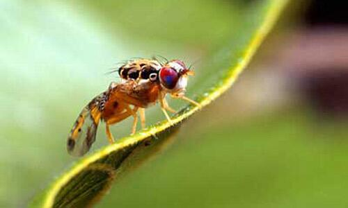 Mediterranean Fruit Fly (Ceratitis capitata)