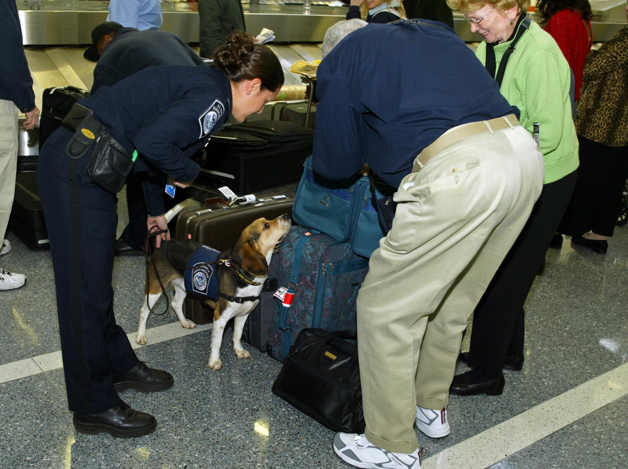 A member of the CBP Beagle Brigade stops to investigate an arriving passenger's luggage looking for prohibited agricultural products or meats.