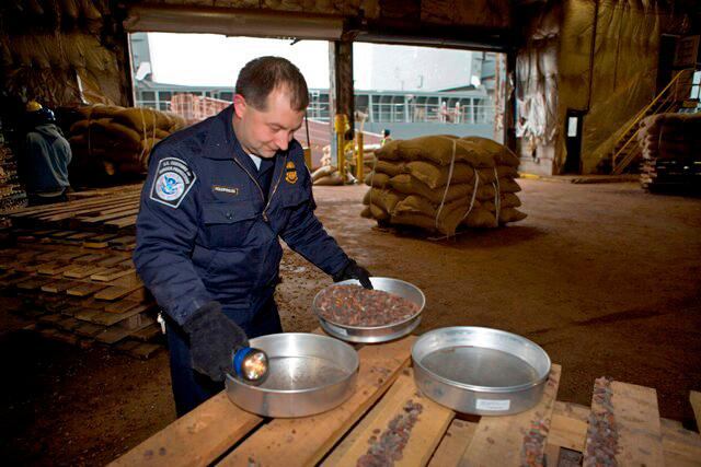 CBP agriculture specialist inspects cocoa beans.