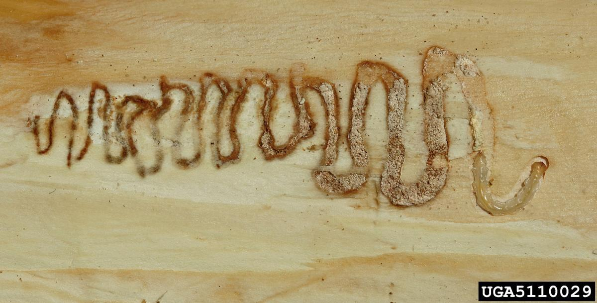 Photo of wood carved out by an Emerald ash borer