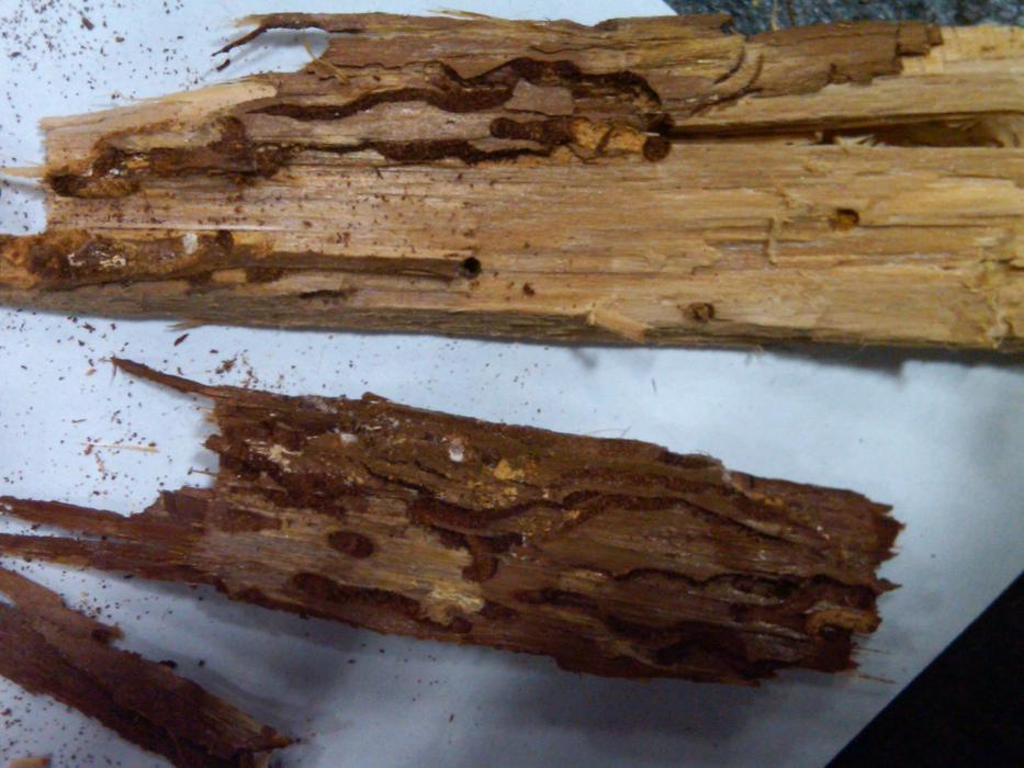 Photo of wood showing damage caused by wood-boring insects