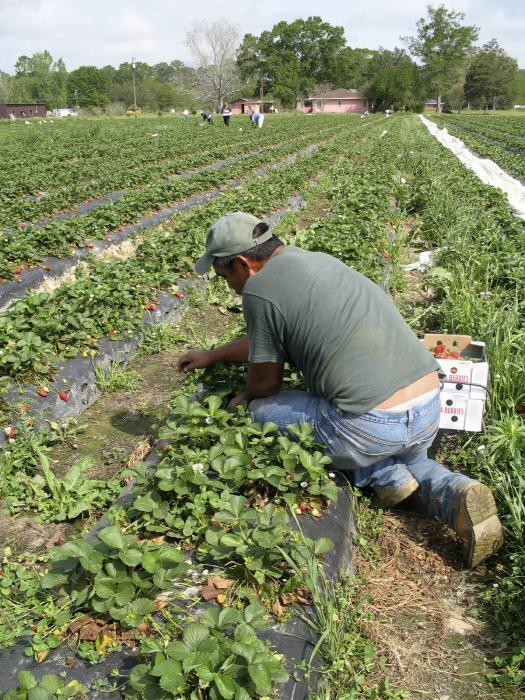 A photo depicting a migrant farm worker picking strawberries. Victims of labor t
