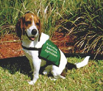 This is TROUBLE, a 31 pound, 7 year old member of the APHIS Beagle Brigade stationed at Miami International Airport in 2005.