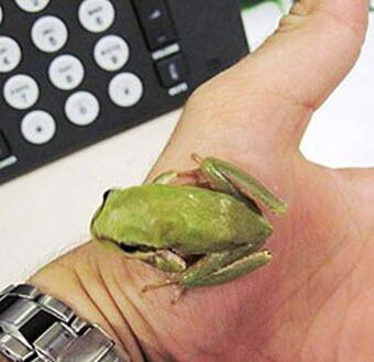 Photo of Middle Eastern tree frog