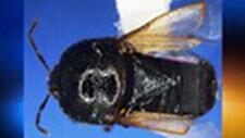 Photo of Amnestus brunneus (signoret)