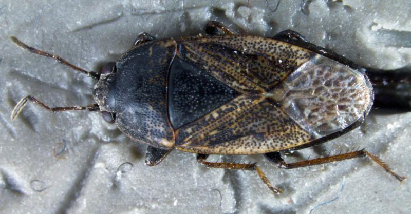 Topical view of the first in nation pest discovered by CBP Agriculture Specialists at the Port of Nogales