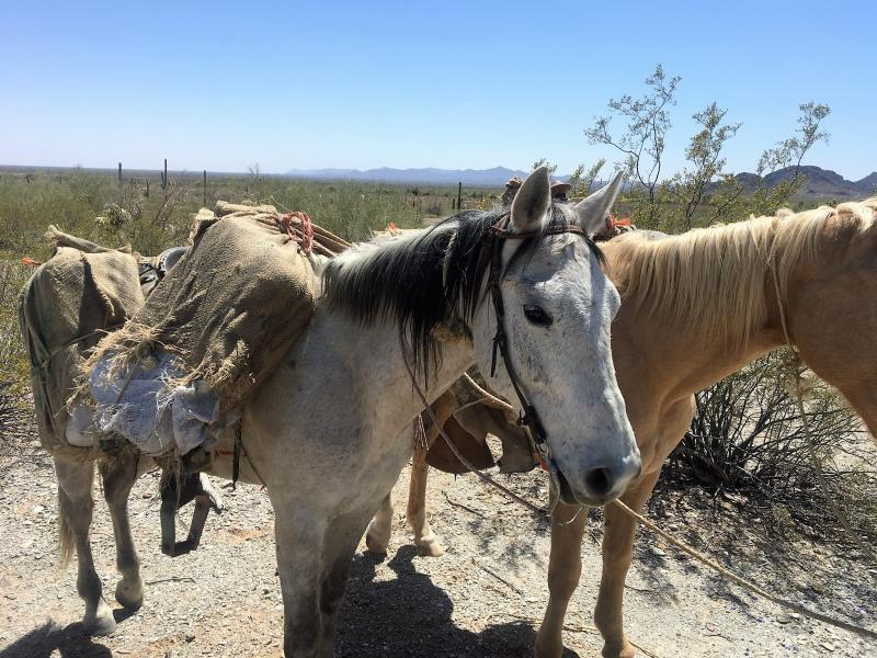 Casa Grande Border Patrol agents and a TOPD officer arrested a Mexican national after finding him with horses and drugs