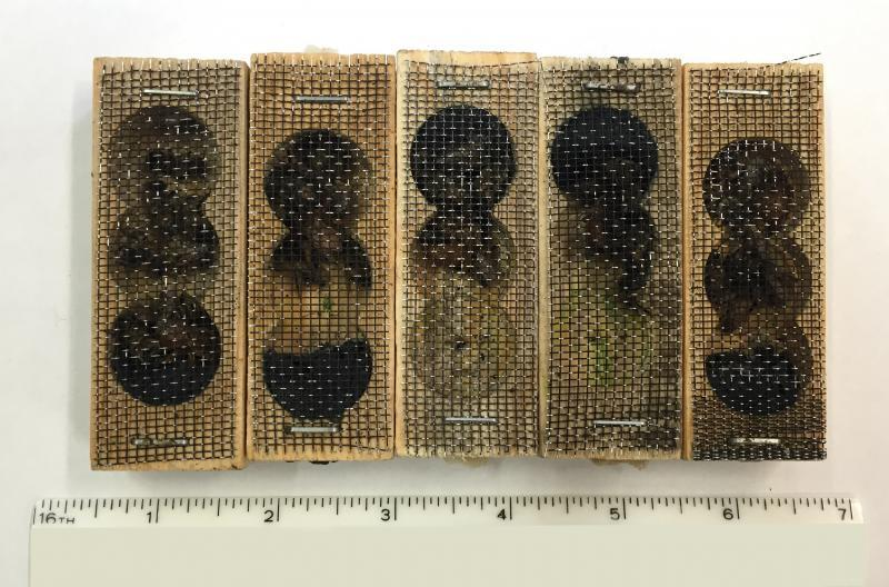 Wooden boxes containing 40 live queen and worker honey bees intercepted by CBP agriculture specialists at Laredo Port of Entry