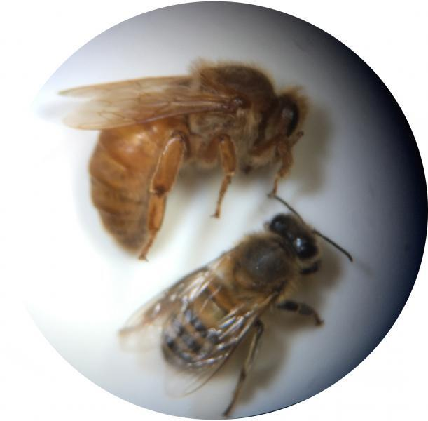 Microscope view of Apis mellifera (Linnaeus) (Apidae) intercepted by CBP agriculture specialists at Laredo Port of Entry