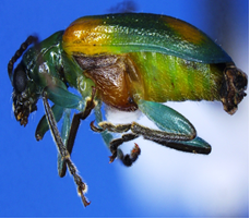 Brightly colored pest discovered by CBP agriculture specialists in Pharr