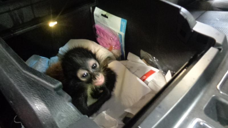 CBP officers and agriculture specialists discovered a spider monkey (Ateles sp.) during a vehicular examination