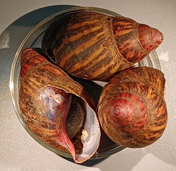 Gianl Land Snails
