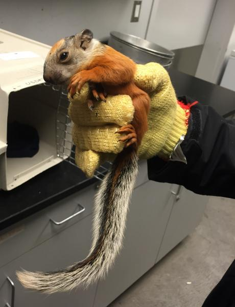 CBP agriculture specialists rescued this baby squirrel found aboard an aircraft that arrived from Costa Rica.