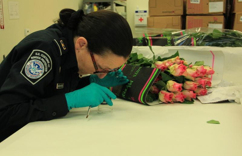 CBP Agriculture Specialist inspects a pest found in flowers