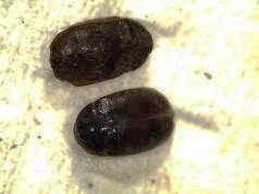 Immature Khapra beetle (pictured) were found among bean seeds imported from Sudan.