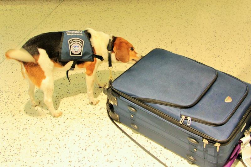 CBP Beagle is hard at work