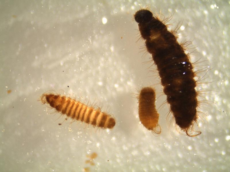 Khapra beetle larvae and cast skins were found in rice and beans that passengers were bringing into the U.S.