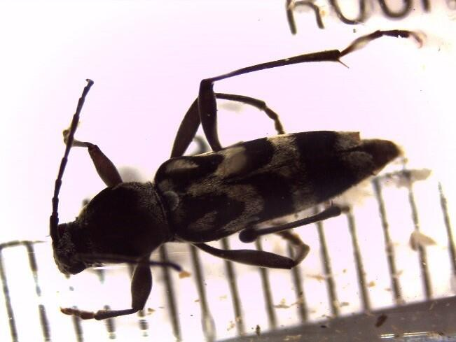 Kokeshi longhorn beetles were discovered in a rail shipment headed to Illinois. This pest feeds on fruit trees.