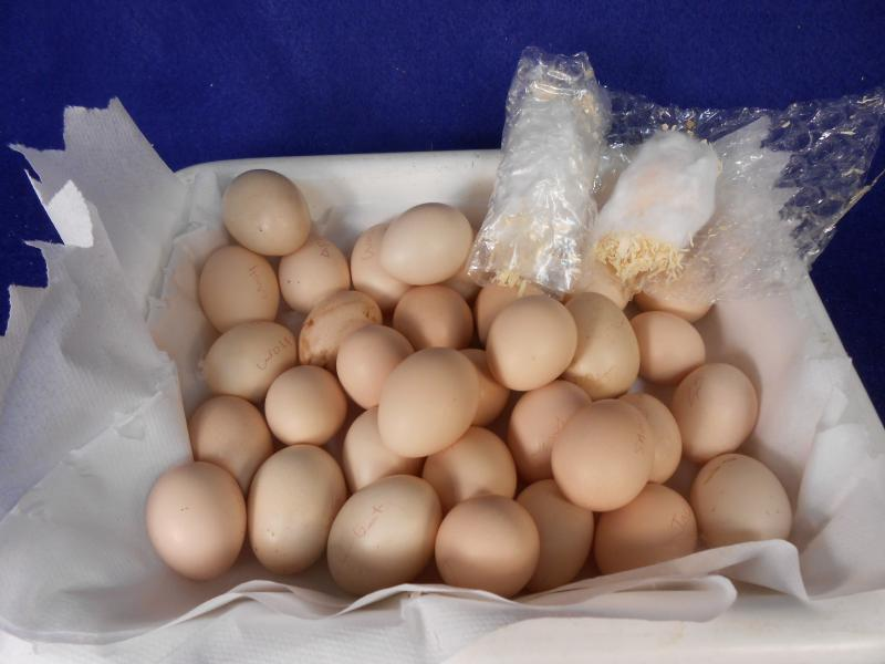 Hatching eggs found individually wrapped in tissue paper