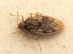 """Monosteira unicostata, the """"Almond bug"""
