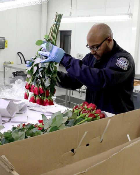 Atlanta CBP agriculture specialist inspects roses and other cut-stem flowers ahead of Valentine's Day.