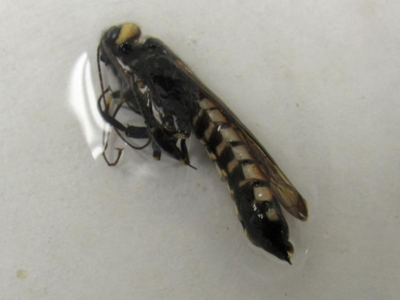 Urocerus augur Klug (Siricidae)