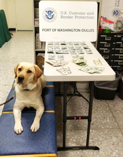 CBP currency detector dog Cato alerted to a Turkey couple's baggage where officers discovered $20,654 in unreported currency at Washington Dulles International Airport December 12, 2019.