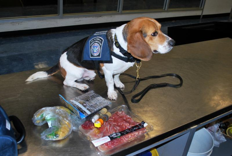 CBP agriculture detector dog Beazley with the products he sniffed disaplayed on an inspection table at Washington Dulles International Airport May 26, 2019.