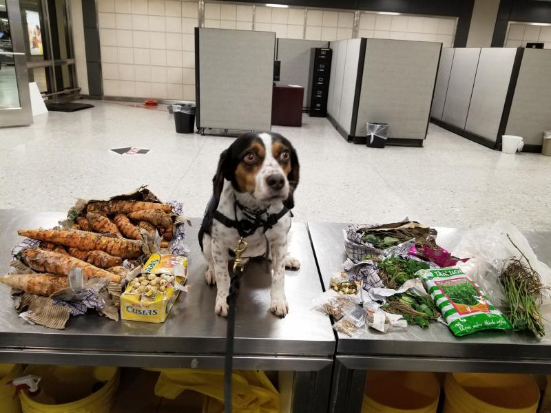 Phillip, of CBP's Beagle Brigade, found a bunch of prohibited agriculture products in passenger baggage at Washington Dulles International Airport during Thanksgiving weekend.
