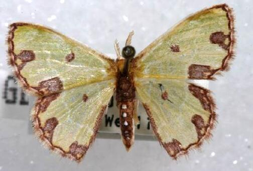 U.S. Customs and Border Protection agriculture specialists discovered this Synchlora sp. (Geometridae), a type of moth, in a shipment of Costa Rica pineapples in Philadelphia June 23, 2015.