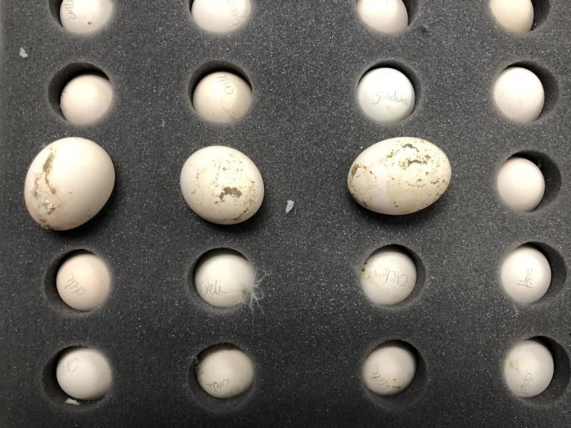 Philadelphia CBP agriculture specialists intercepted 40 chick-hatching eggs from the Netherlands July 24, 2019.