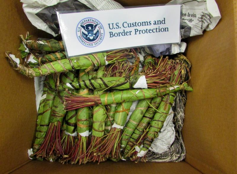 Philadelphia CBP officers intercepted this khat bound for Minnesota on January 11, 2018.