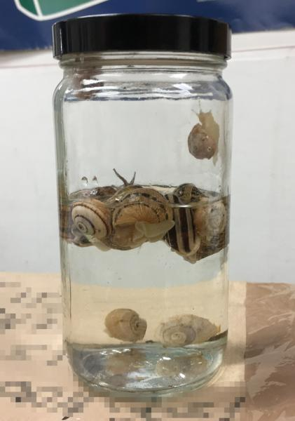 Specimens of invasive chocolate-banded snails that CBP recently seized.