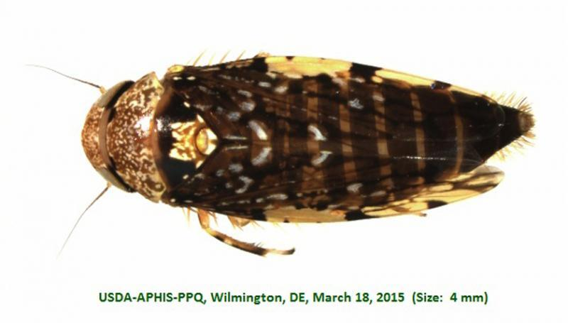 U.S. Customs and Border Protection agriculture specialists intercepted the area's first recorded Scaris (Cicadellidae) species of leafhopper in a shipment of Guatemalan bananas at the Port of Wilmington, Del., March 16, 2015.