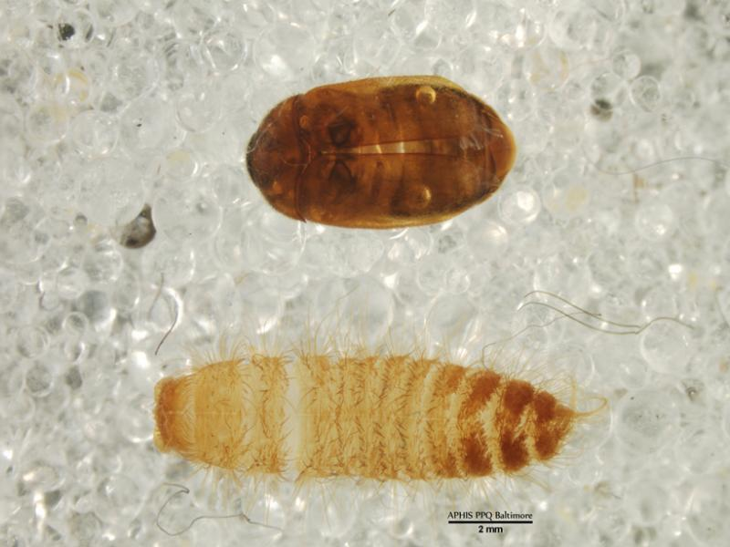 U.S. Customs and Border Protection agriculture specialists intercepted the highly destructive Khapra Beetle in passenger baggage at Washington Dulles International Airport July 30, 2014.