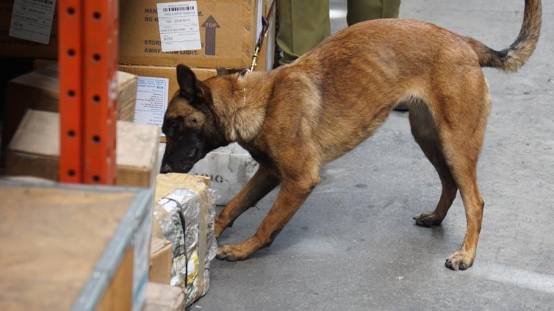 A CBP trained Belgian Malinois uses his keen sense of smell to detect any possible illicit drugs or ivory.