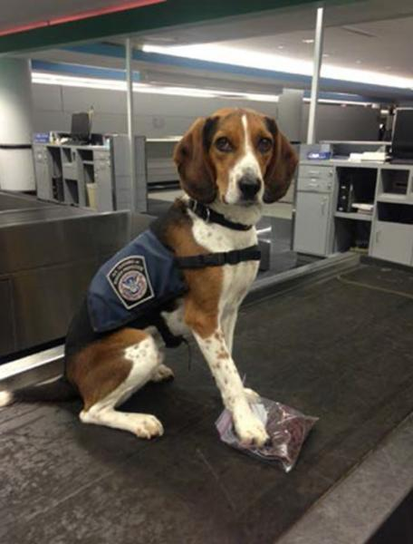 CBP's K-9 named Emeril discovered pests and prohibited food items at O'Hare International Airport.
