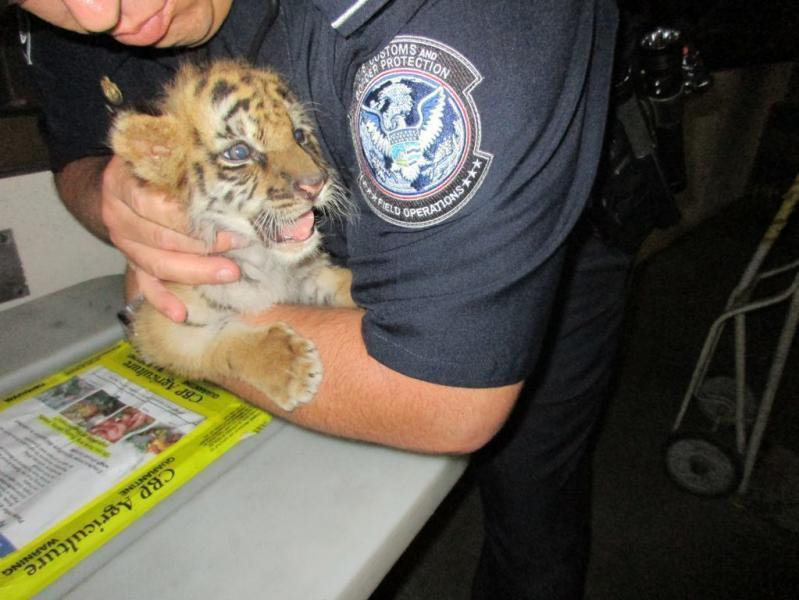 Tiger cub intercepted by CBP officers at Otay Mesa