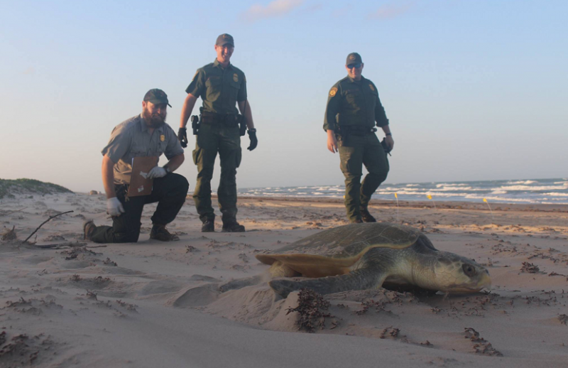 Kemp Ridley turtle heads back to the Gulf of Mexico